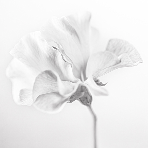 Studio shot of Sweet pea flower head