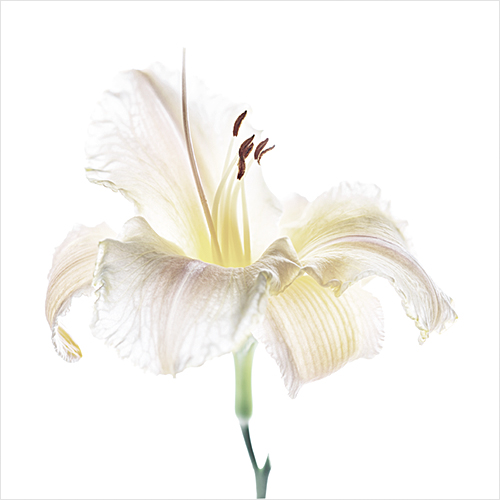 Studio shot of daylily flower head
