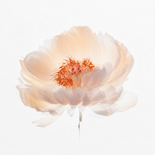 Studio shot of peony flower head